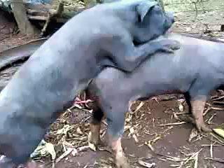 pig gay
