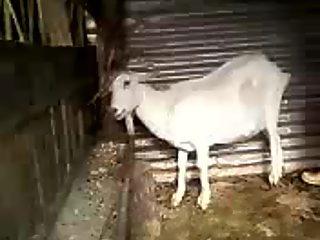 foda com cabra