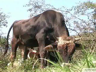 Bull Masturbation